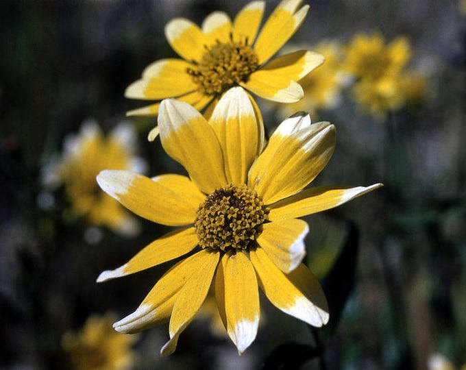 500 SHOWY GOLDENEYE Viguiera Multiflora Flower Seeds