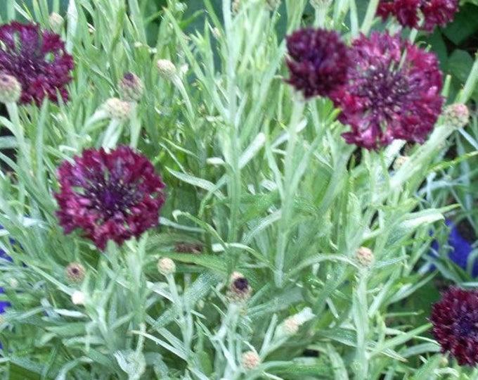 25 Black Garnet BACHELOR'S BUTTON / CORNFLOWER Centaurea Cyanus Flower Seeds
