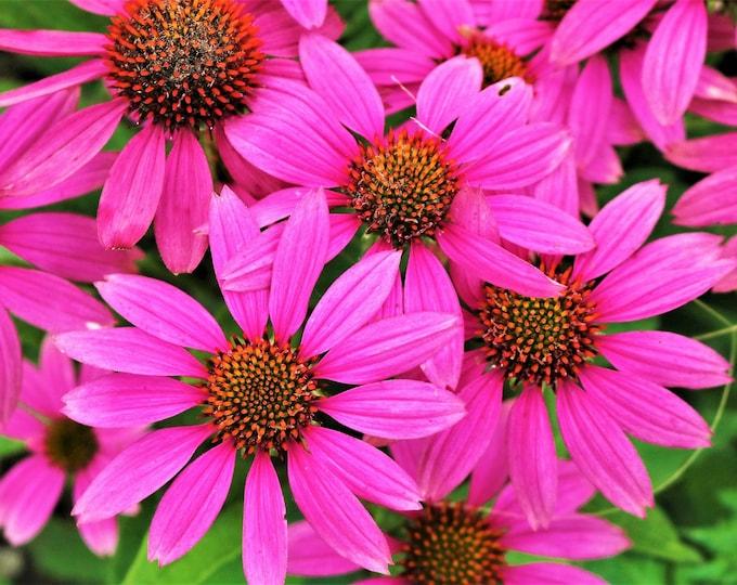 25 BRIGHT STAR CONEFLOWER Echinacea Purpurea Lavender Bright Rose Pink Flower Seeds