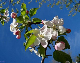 30 Sargent CRAB APPLE Shrub Hummingbird Flower White Red Malus Sargentii Seeds