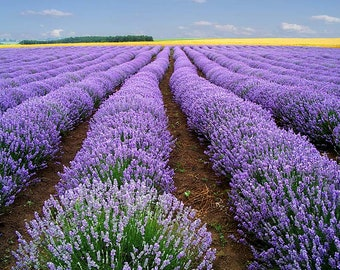 500 True ENGLISH LAVENDER VERA Lavender Augustifolia Vera Herb Purple Flower Seeds