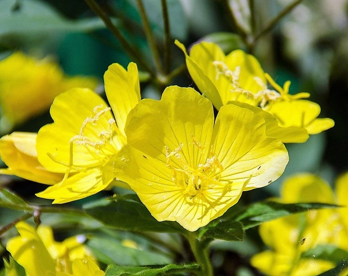 1000 YELLOW EVENING PRIMROSE Oenothera lamarckiana Flower Seeds