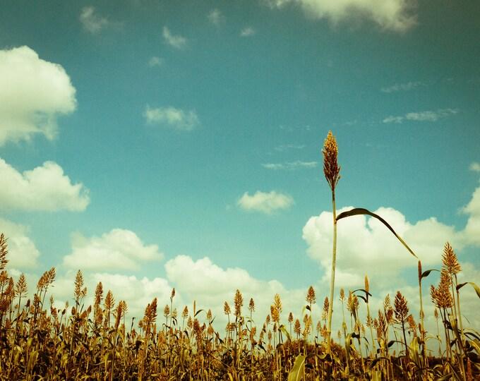 20 IOWA SWEET SORGHUM Bicolor Syrup Vegetable Grain Seeds