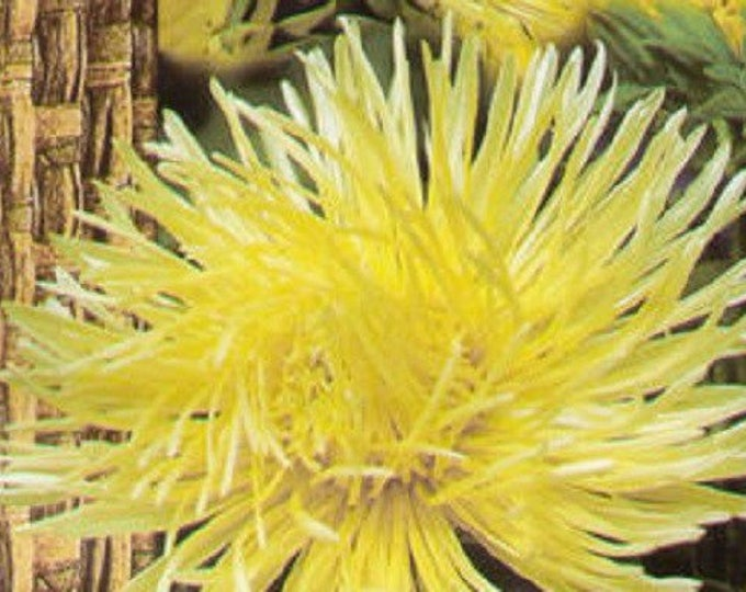 30 YELLOW NEEDLE ASTER Callistephus Unicom Flower Seeds *Flat Shipping