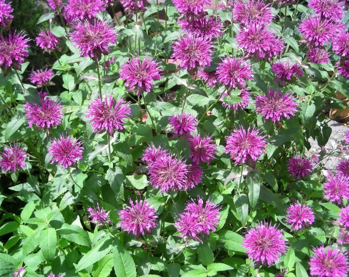 2000 BEE BALM Lemon MINT Monarda Citriodora Herb Flower Seeds
