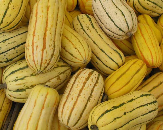 50 DELICATA SQUASH Striped Sweet Potato Cucurbita Pepo Vegetable Seeds