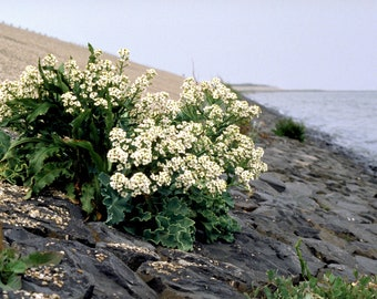 5 SEA KALE Crambe Maritima Seakale Colewort Perennial Edible Vegetable White Flower Seeds