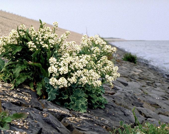 5 SEA KALE Crambe Maritima Seakale Colewort Perennial Edible Vegetable White Flower Seeds