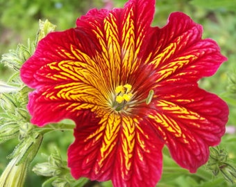 200 Mixed Colors PAINTED TONGUE (Velvet Trumpet Flower) Salpiglossis Grandflora Virgiana Flower Seeds