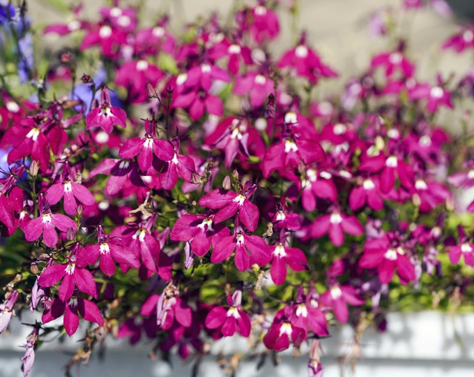 200 Red CRIMSON FOUNTAIN LOBELIA Erinus Trailing Flower Seeds *Flat Shipping Rate