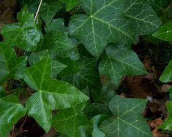 10 BOSTON IVY ( Bostonian Ivy / Wall Ivy ) Parthenocissus Tricuspidata Veitchii Vine Flower Seeds