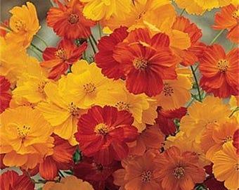 300 BRIGHT LIGHTS COSMOS Mix Mixed Colors Red Orange Yel Bipinnatus Flower Seeds