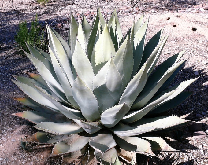 5  ARTICHOKE AGAVE Parry's Huachuca Agave Parryi Huachucensis Century Plant Succulent Cactus Seeds