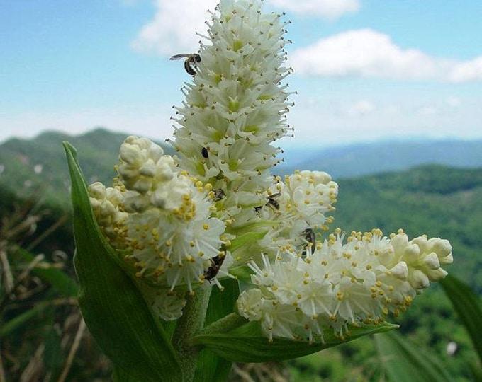 100 VIRGINIA BUNCHFLOWER LILY (White Hellebore / Corn Lily) Melanthium Virginicum Flower Seeds