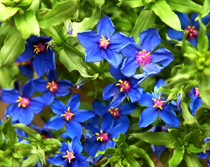 100 BLUE PIMPERNEL Anagallis Monellii Flower Seeds