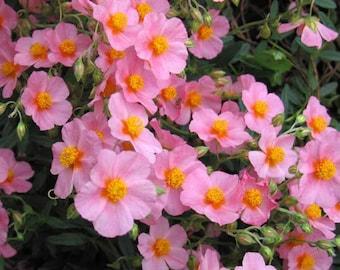 50 Mixed Colors ROCK ROSE aka SUNROSE Mix Helianthemum Mutabile Flower Seeds