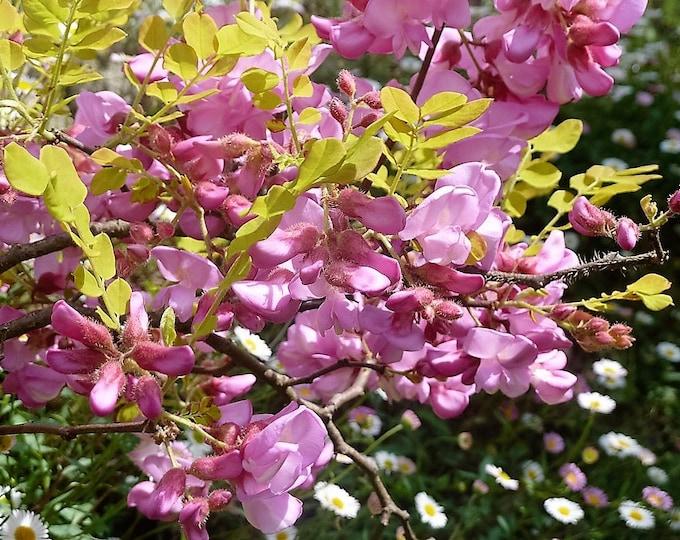 15 ROSE LOCUST / Pink ACACIA Flower Robinia Hispida Fertilis Tree Shrub Seeds