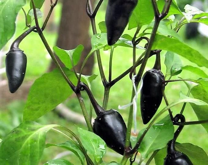 25 BLACK HUNGARIAN PEPPER Capsicum Annuum Mildly Hot Vegetable Seeds *Flat Shipping