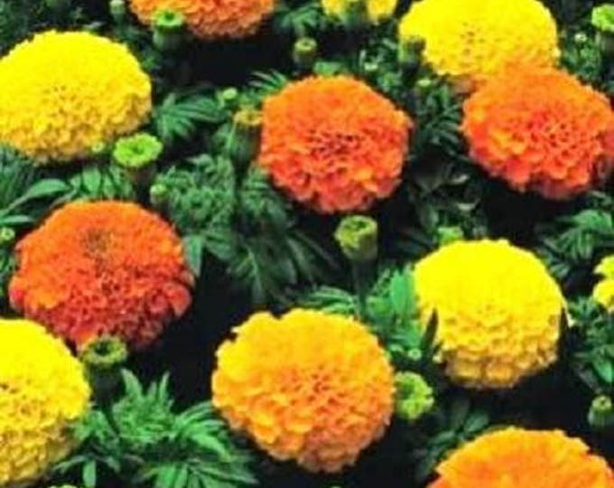 250 AFRICAN MARIGOLD CRACKERJACK Mixed Color Tagetes Erecta Flower Seeds *Flat Shipping