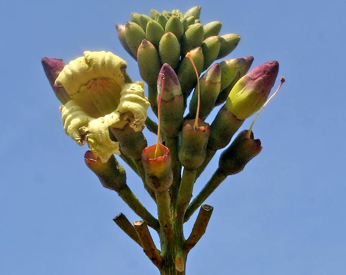 20 INDIAN TRUMPET Flower TREE (Midnight Horror / Broken Bones Plant / Tree of Damocles) Oroxylum Indicum Seeds
