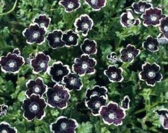 50 PENNIE BLACK - NEMOPHLIA Discoidalis Penny White Flower Seeds *Comb S/H