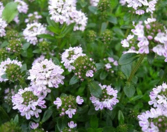 150 Creeping WINTER SAVORY Satureja Montana Herb Pink Flower Seeds *Combined S/H