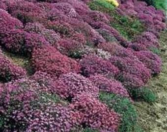 400 RAINBOW ROCKCRESS Rock Cress Large Flowered Aubrieta Cultorum Flower Seeds