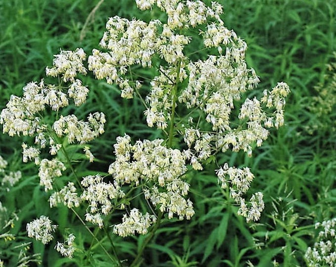 50 PURPLE MEADOW RUE Thalictrum Dasycarpum White & Yellow Flower Herb Seeds