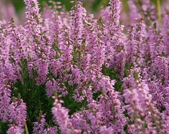 100 Scotch TRUE HEATHER Shrub Scot's Purple Pink Flower Calluna Vulgaris Seeds