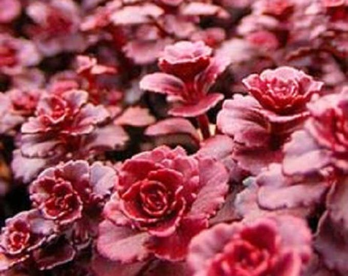 50 Red DRAGONS BLOOD SEDUM Stonecrop Sedum Spurium Flower Seeds