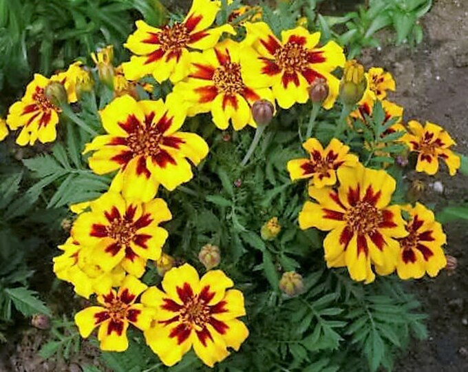 400 Dainty MARIETTA FRENCH MARIGOLD Tagetes Patula Red & Yellow Flower Seeds *Flat Shipping