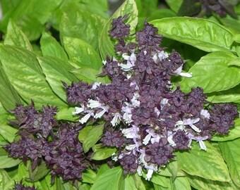 250 SIAM QUEEN Thai BASIL Ocimum Thyrsiflora Herb Flower Seeds