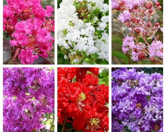 50 MIXED CREPE MYRTLE Lagerstroemia Tree Shrub Crape  6 Color Mix - Red, Purple, Light Pink, Dark Pink, White, & Lilac Flower Seeds