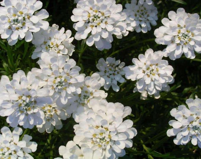 1000 WHITE EMPRESS CANDYTUFT Iberis Amara Groundcover Flower Seeds *Comb S/H