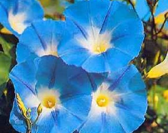 50 Heavenly BLUE MORNING GLORY Ipomoea Tricolor Vine Flower Seeds