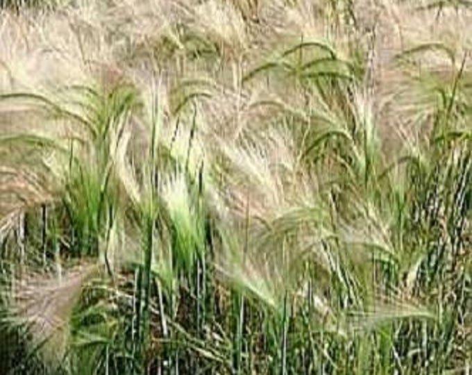 200 SQUIRREL TAIL GRASS (Foxtail Barley) Hordeum Jubatum Ornamental Seeds