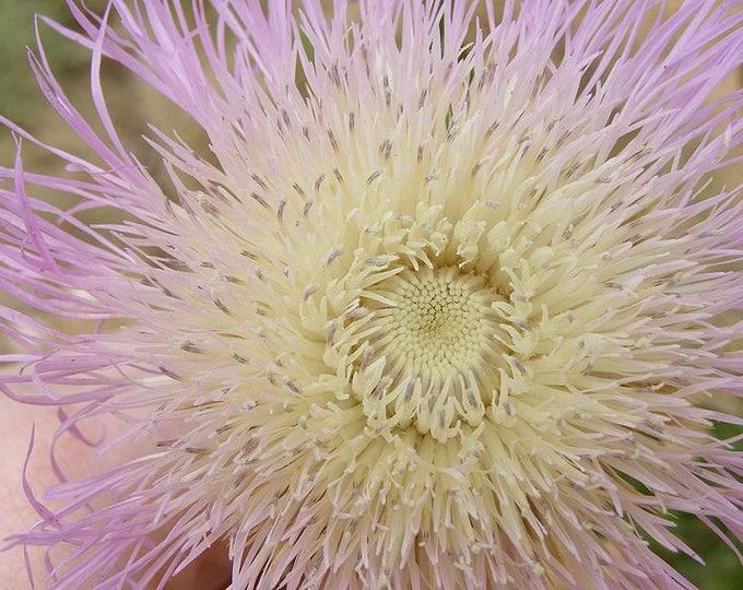 25 AMERICAN ROSE (Centaurea Aloha / American Starflower / American Basket Flower / America Starthistle) Centaurea Americana Flower Seeds