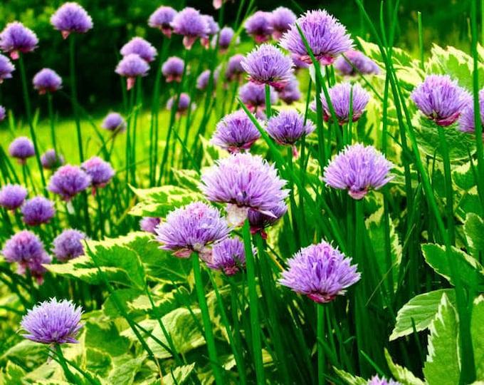500 CHIVE Allium Schoenoprasum Vegetable Seeds