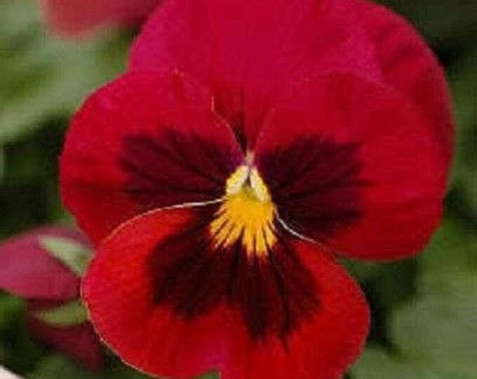 50 RED & BROWN PANSY Violet Viola Wittrockiana Flower Seeds