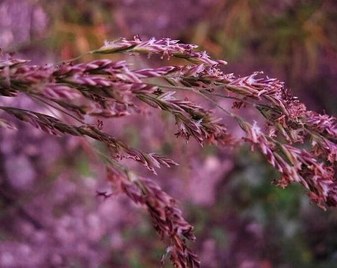 20 RED Spire MELIC GRASS Purple Melica Transsilvanica Flower Seeds
