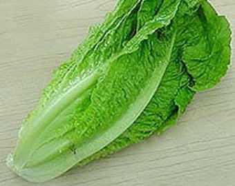 3000 PARRIS ISLAND Romaine LETTUCE Lactuca Sativa Vegetable Seeds