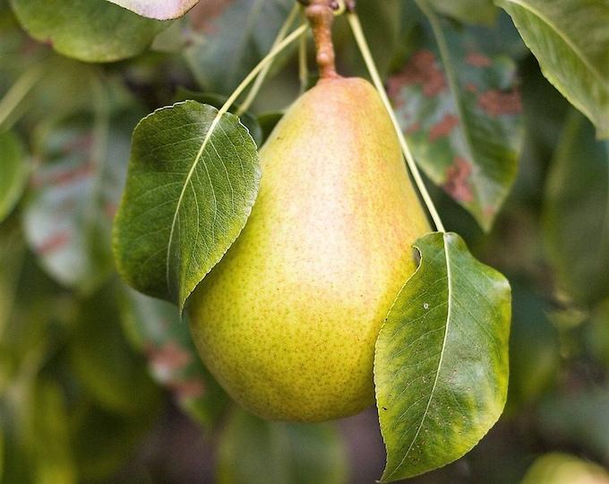 25 EUROPEAN PEAR TREE Pyrus Communis Fruit Seeds - White Flowers / Green Fruit