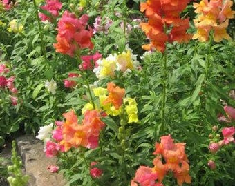 2000 SNAPDRAGON CORONA MIX Antirrhinum Majus Flower Seeds *Flat Shipping