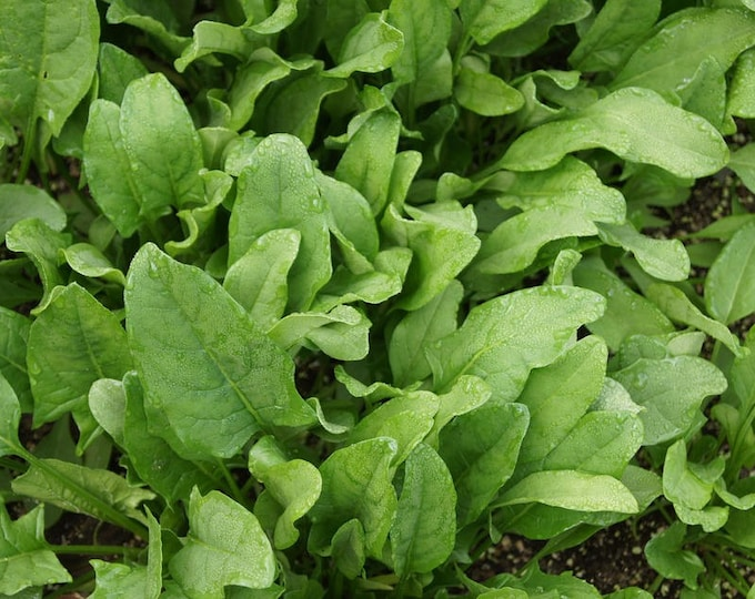 400 Monstrueux De VIROFLAY SPINACH French Spinacia Oleracea Vegetable Seeds