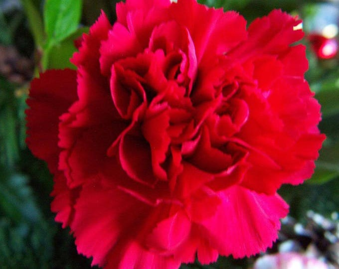 50 SCARLET RED CARNATION Caryophyllus Grenadin Double Flower Seeds *Flat Shipping