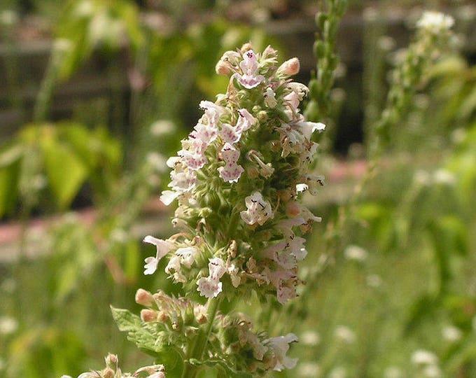 1000 HEIRLOOM CATNIP Nepeta Catara Herb Flower Seeds