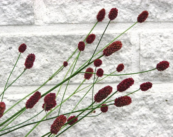 200 Red BURNET Sanguisorba Officinalis HERB Flower Seeds