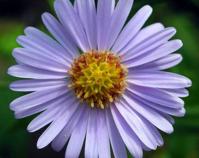 50 Blue EAST INDIES ASTER Tongolensis Flower Seeds *Flat Shipping