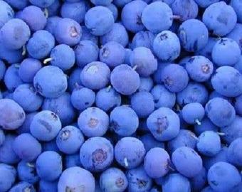 50 Northern HIGHBUSH BLUEBERRY BUSH Fruit Shrub Blue Berry White Flower Seeds