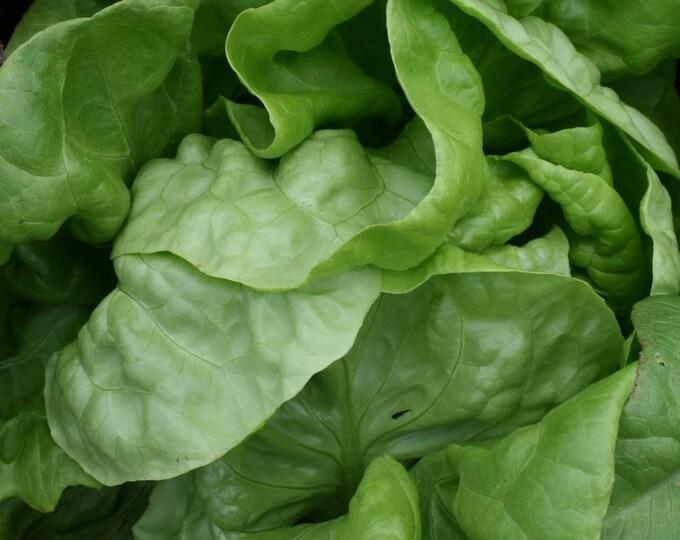 3000 BUTTERCRUNCH LEAF LETTUCE Lactuca Sativa Vegetable Seeds